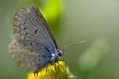Gossamer-winged Butterfly Stock Image