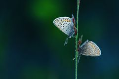 Gossamer-winged-butterfly Royalty Free Stock Photography