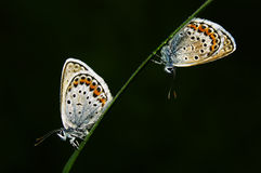 Gossamer-winged butterfly Stock Photography