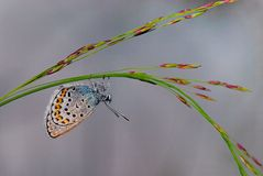 Gossamer-winged butterfly Stock Photos
