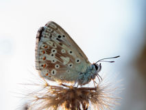 Gossamer Winged Butterfly Royalty Free Stock Image