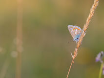 Gossamer Winged Butterfly Royalty Free Stock Images