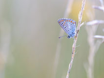 Gossamer Winged Butterfly Royalty Free Stock Photo