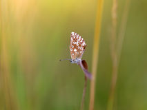 Gossamer Winged Butterfly Royalty Free Stock Photos