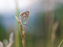 Gossamer Winged Butterfly Stock Image