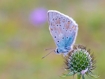 Gossamer Winged Butterfly Stock Photos