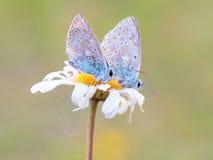 Gossamer Winged Butterfly Stock Image