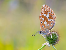 Gossamer Winged Butterfly Stock Photo