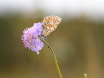 Gossamer Winged Butterfly Stock Photography