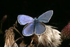 Gossamer-winged butterfly (Lycaenidae) Royalty Free Stock Image