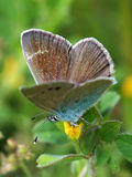 Gossamer-winged butterfly on meadow Stock Images