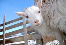 gosse curieux de chèvre Photographie stock