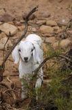 Gosse de chèvre Photographie stock libre de droits
