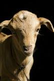 gosse de chèvre photo libre de droits