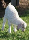 Gosse de chèvre d'angora Image libre de droits
