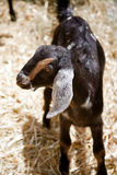 Gosse de chèvre de Nubian de chéri Photo stock