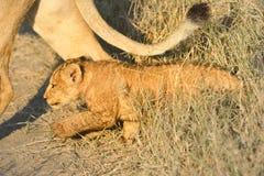 Gosse de lion Photo libre de droits