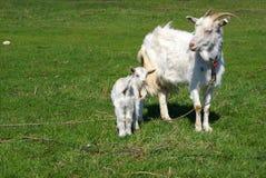 Gosse et la chèvre Photo libre de droits