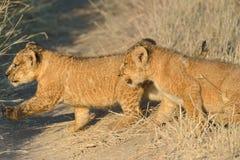 Gosses de lions Photographie stock libre de droits