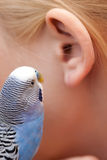 Gossip. A little budgie whispering in somebody's ear Royalty Free Stock Photo