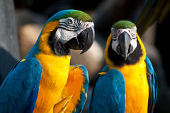 Gossip. Two macaws are likely talking some thing bad about someone Stock Photography