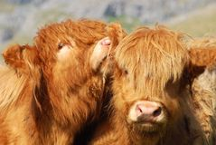 Gossip. Highland cows funnily posing. Picture taken in Yorkshire Dales, United Kingdom Royalty Free Stock Images