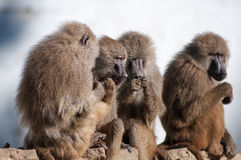 Gossip monkey Royalty Free Stock Image