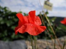 Gossip poppy in the field stock image