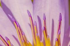 Gossip purple lotus close up. Abstract gossip purple lotus close up stock photo