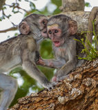 Baby monkeys. One looking shocked and the other looking like whispering something in the ear of the first one stock photo