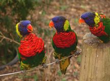 Gossiping Lorakeets. Three lorakeets huddled together on their perch Royalty Free Stock Images