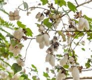 Gossypium plant Stock Images