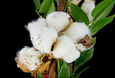 Gossypium plant with open seed capsules Stock Images