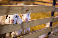 Gost dans la ferme Image libre de droits