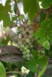 Gostevaya um o grupo de uvas foto de stock