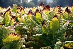 gotówkowej upraw tytoniu Tennessee. Zdjęcia Stock