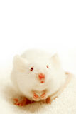 Got cheese?. White mouse, on white towel, on white background, begging for cheese. highkey macro with focus on the eyes Stock Image