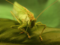 Got grass?. A grasshopper closeup Stock Photos