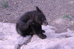 Got an itch. Black Bear Cub Scratching Its Ear Stock Image