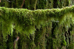 Got Mecury?. Moss hangs from  a tree branch in the understory of forest in the Pacific Northwest. Moss can be used to detect heavy metals such as Cadmium and Royalty Free Stock Image