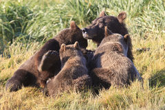 Got milk. Brown bear sow and three cubs feeding on mother's milk Royalty Free Stock Photo