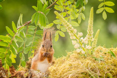 Got my eyes on you. Young red squirrel standing with flowers looking in the lens Stock Photo