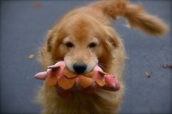 He got a new toy for dog land Stock Photography