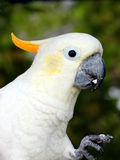 Got Nosh?. Friendly Cockatoo who may be willing to share some of his snack royalty free stock photography