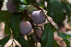 Got Plums? stock images