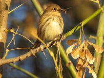 Yellow Rumped Warbler With An Insect  Royalty Free Stock Photos