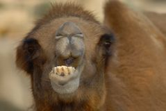 Got tic tac?. Close-up of a camel's mouth while chewing Royalty Free Stock Photography