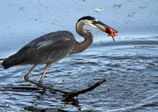 Got Ya!. Closeup of a Great Blue Heron catching a large Goldfish Stock Photography