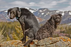 Got your back. Dogs going for a walk in the Gros Ventre near Slide lake Royalty Free Stock Images
