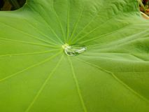 gota da água em uma folha dos lótus Imagem de Stock